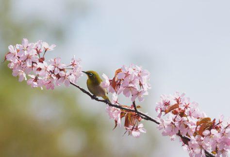平岡公園の桜とメジロ