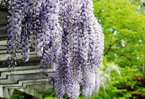 豊平公園の藤の花